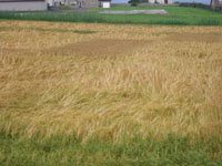 Bere Barley trials